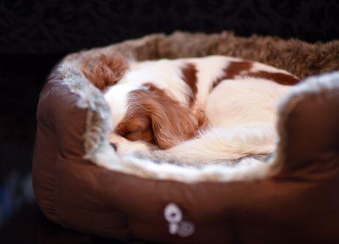 Dexter i sin sköna hundbädd Lyon. Foto:Annelie Rudner