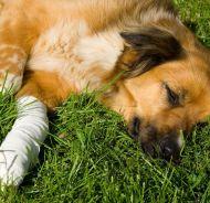 Första hjälpen för hundägare