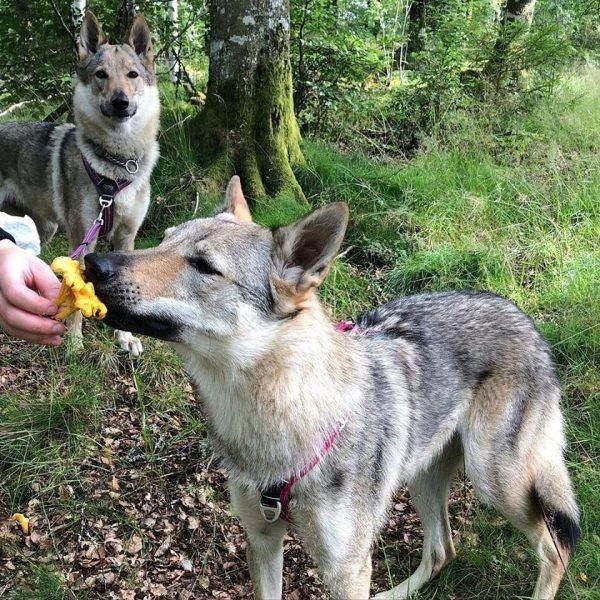 Kantarellsök med hund