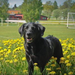 LabradorDag! Söndagen den 24 juli